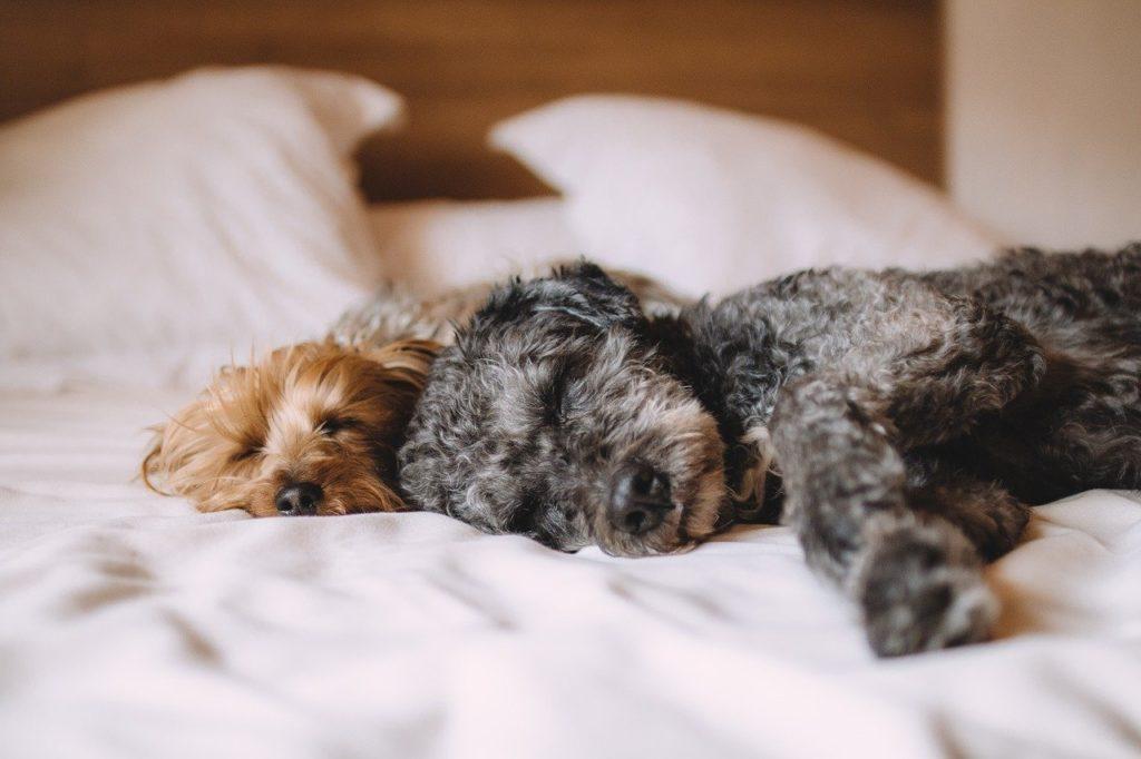 ベッドの上で子犬が2頭寝ている写真