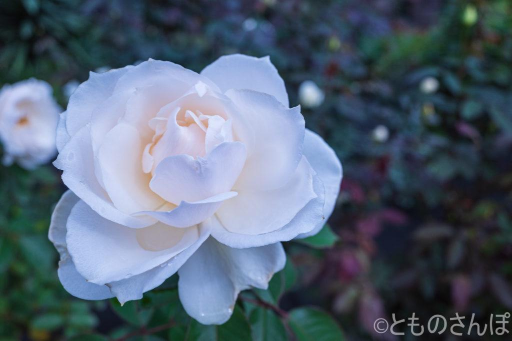 白い秋バラ。