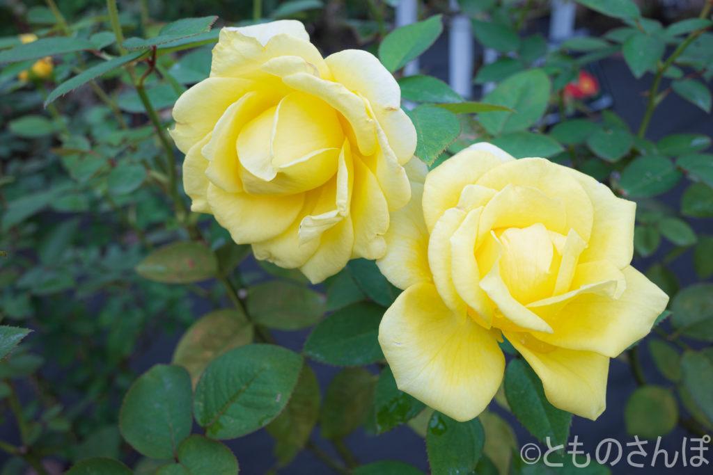 黄色い秋バラ。