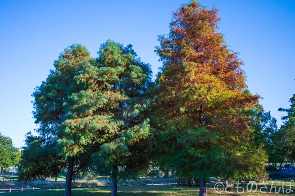 水元公園、紅葉しかけている木々。