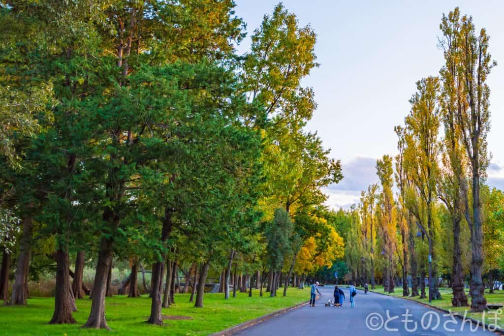 水元公園ポプラ並木。