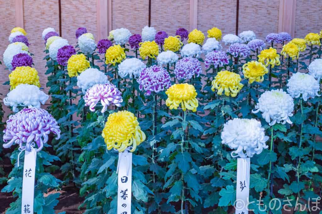 新宿御苑菊花壇展の様子。