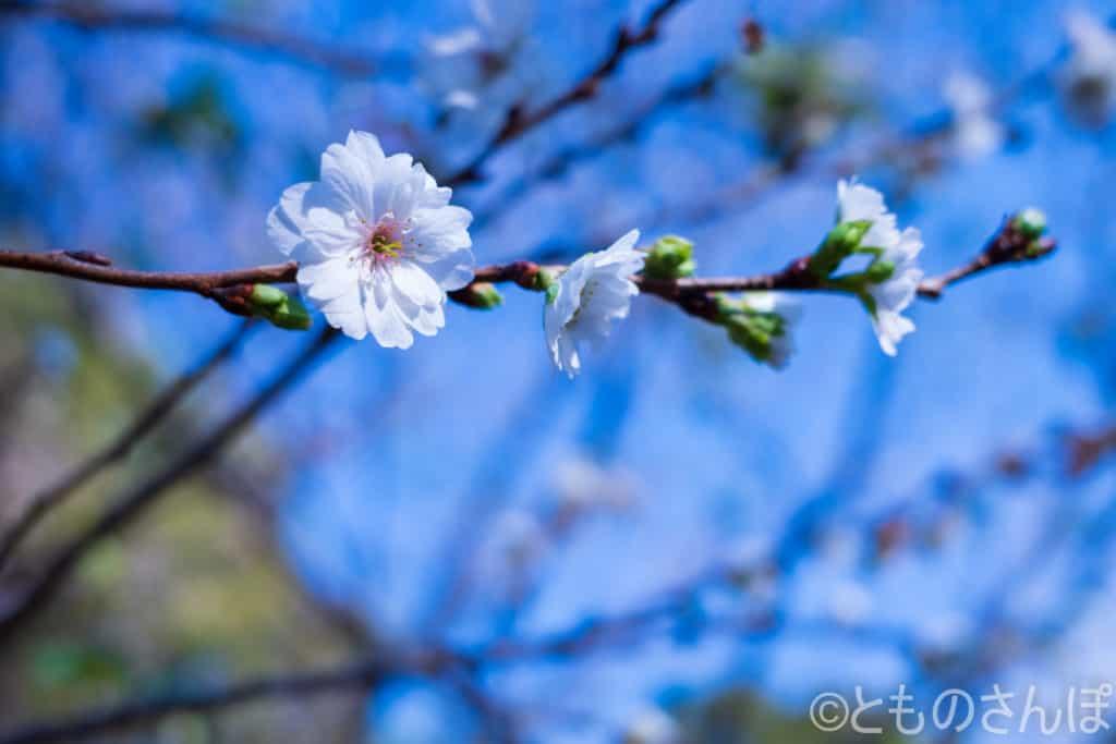 新宿御苑、桜の一種。