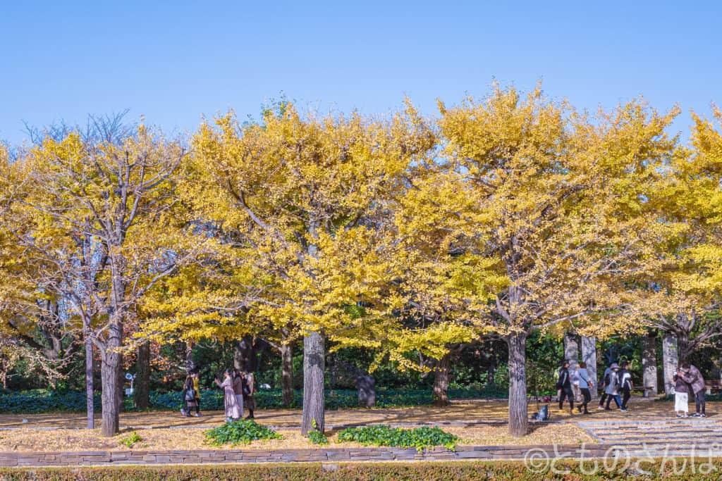 国営昭和記念公園の黄葉。