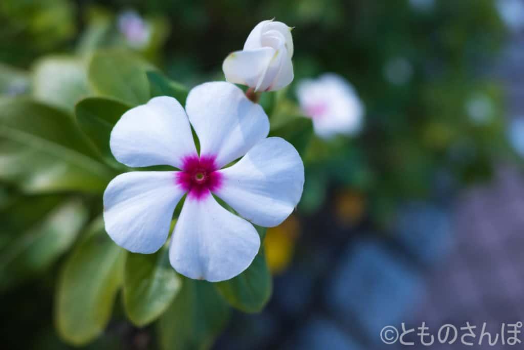 白色で中心が紫色の日々草。
