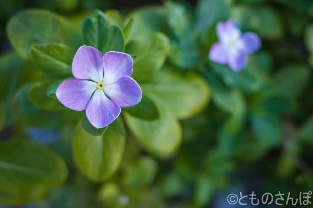 薄紫色の日々草。