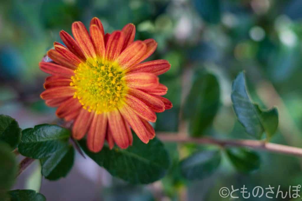 おそらく菊の一種。
