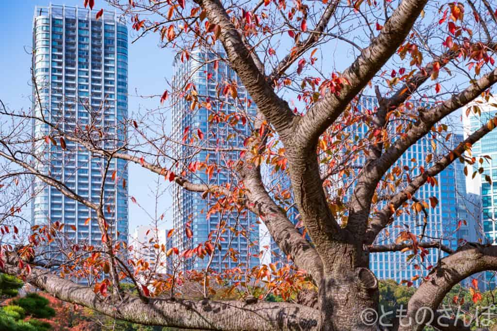 浜離宮恩賜庭園、樹木の間から見る高層ビル。