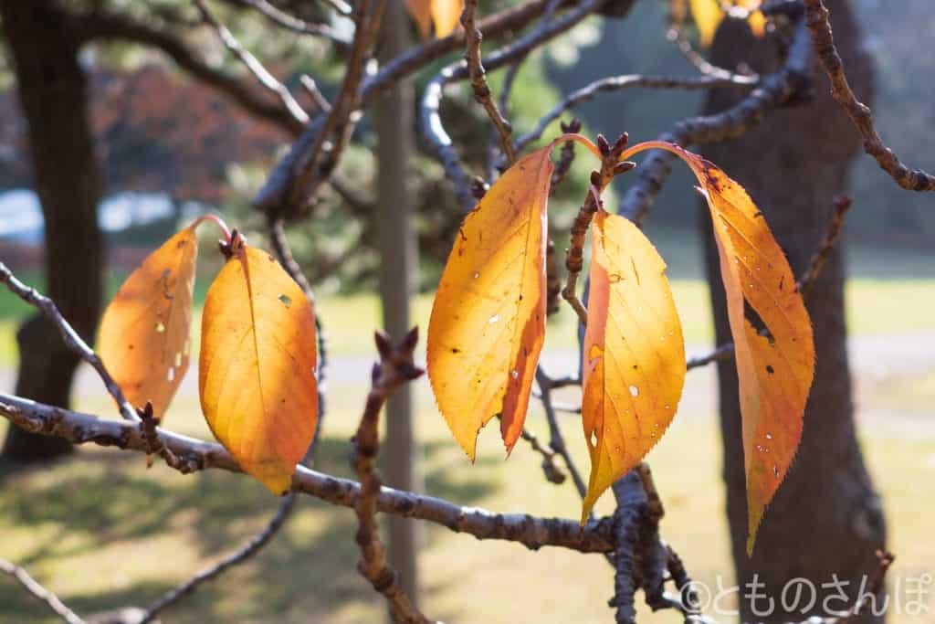 浜離宮恩賜庭園の黄葉。