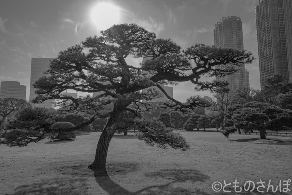 浜離宮恩賜庭園、逆光で撮影した松。モノクロ。