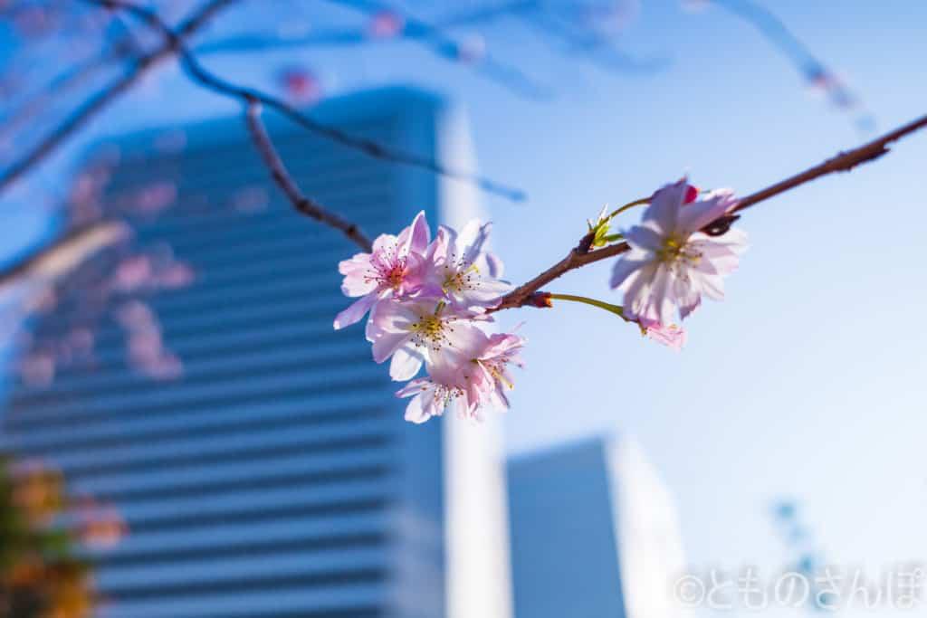 芝離宮恩賜庭園の桜のような花。