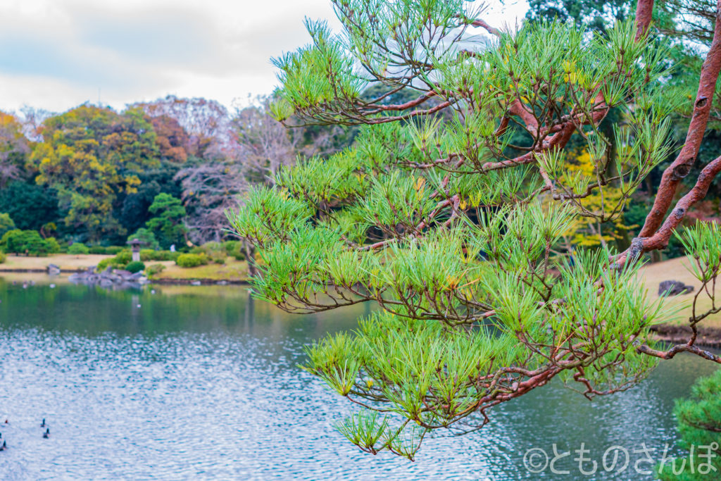 六義園、松の木。