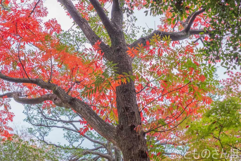 六義園、紅葉した木。