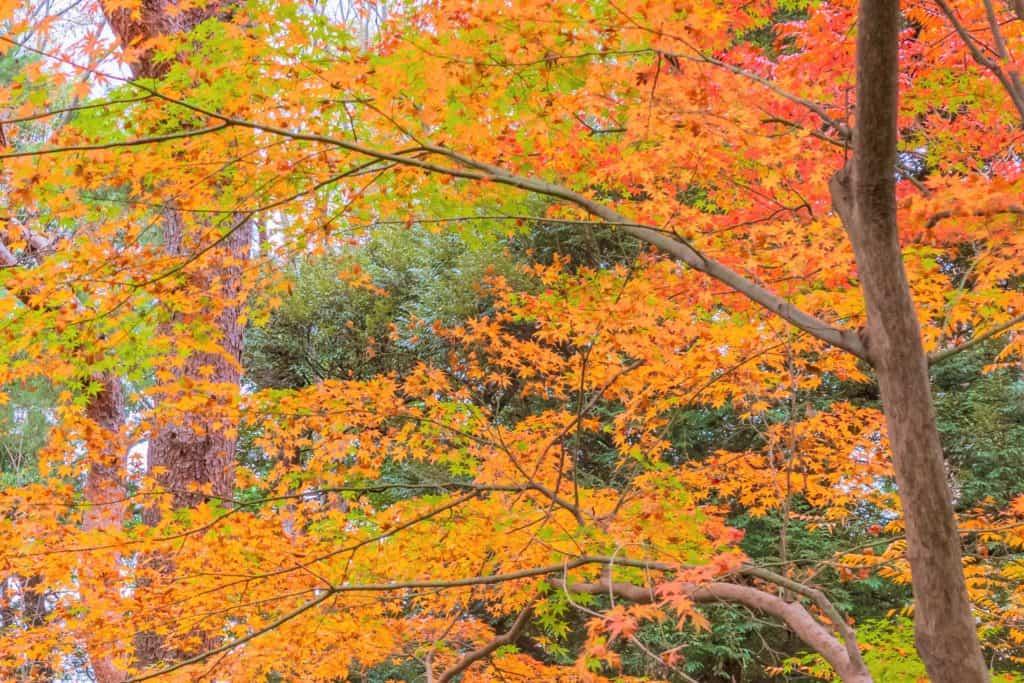 六義園、オレンジ色が美しいモミジ。
