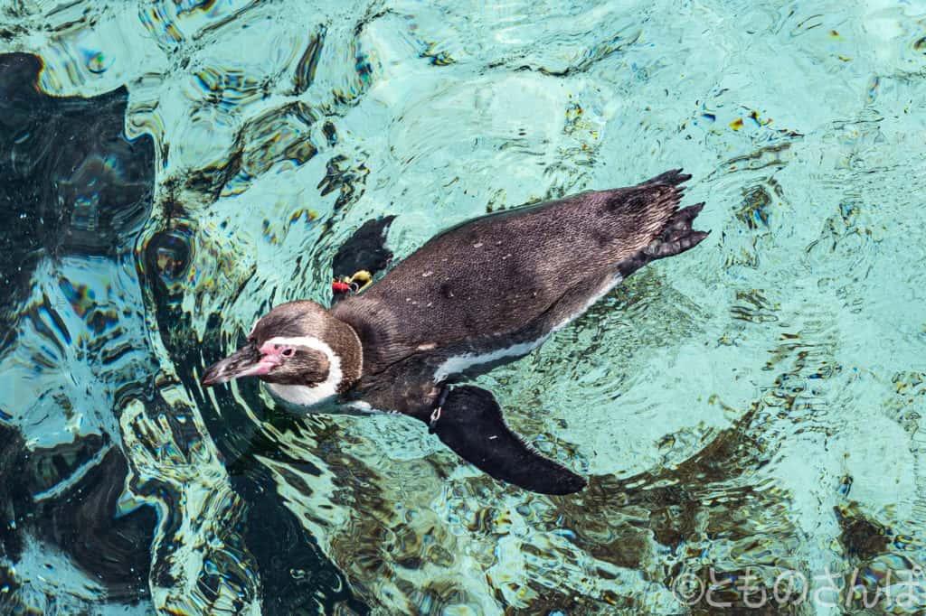 葛西臨海水族園のペンギン。