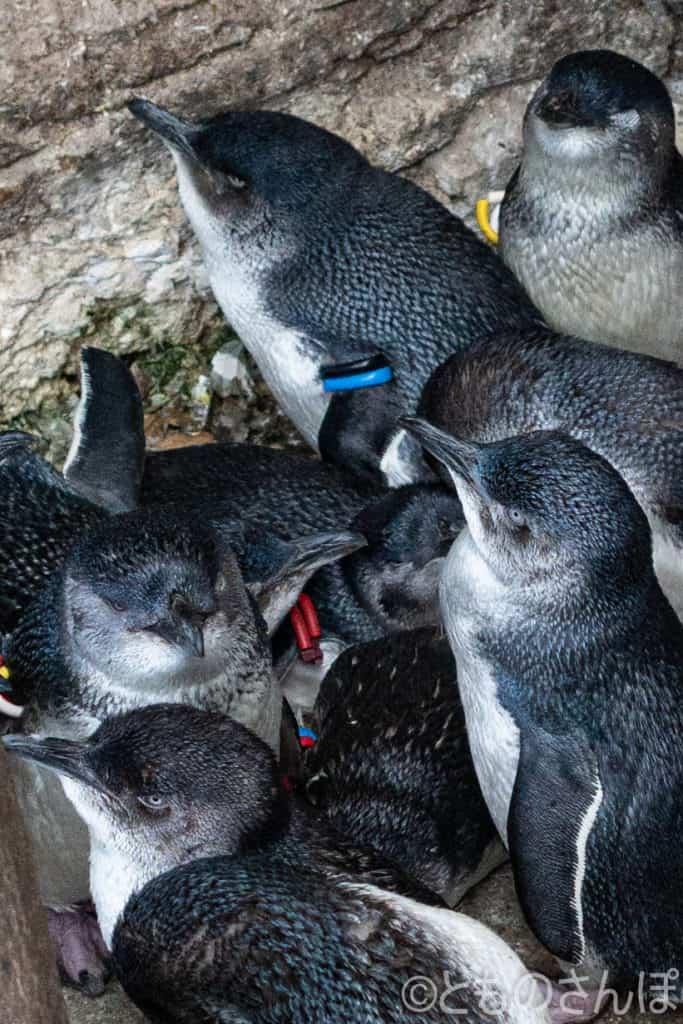葛西臨海水族園、ペンギンの子どもたち。