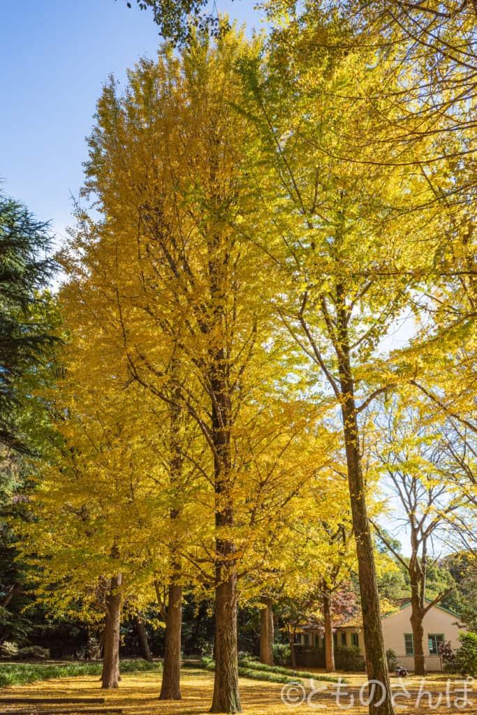 代々木公園の銀杏の木。