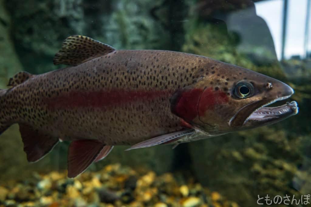 しながわ水族館の淡水魚。