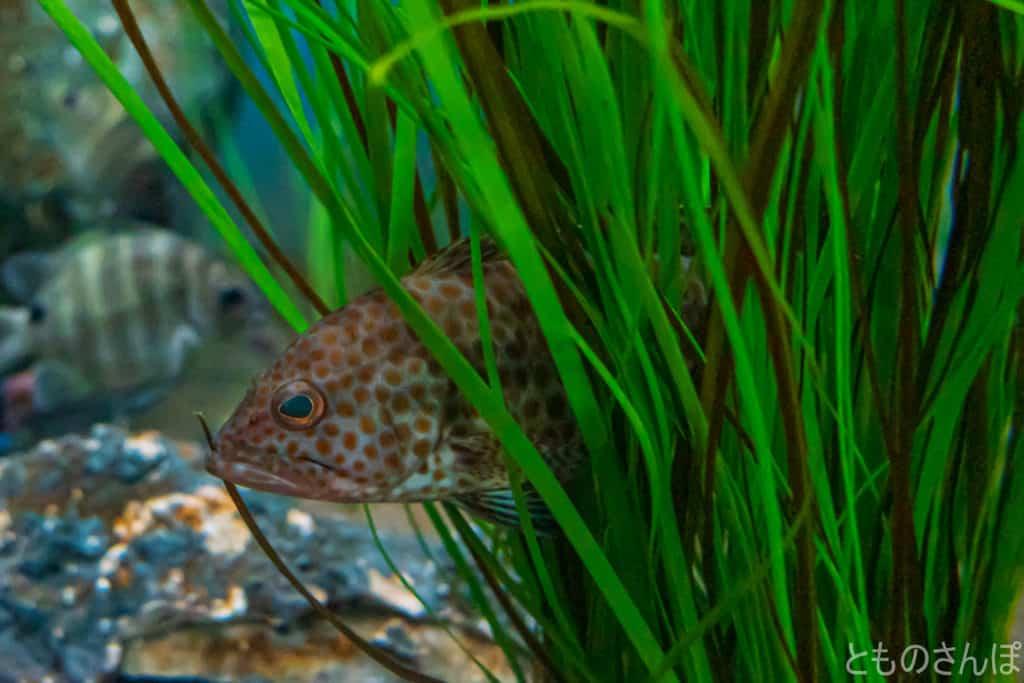 しながわ水族館の魚。