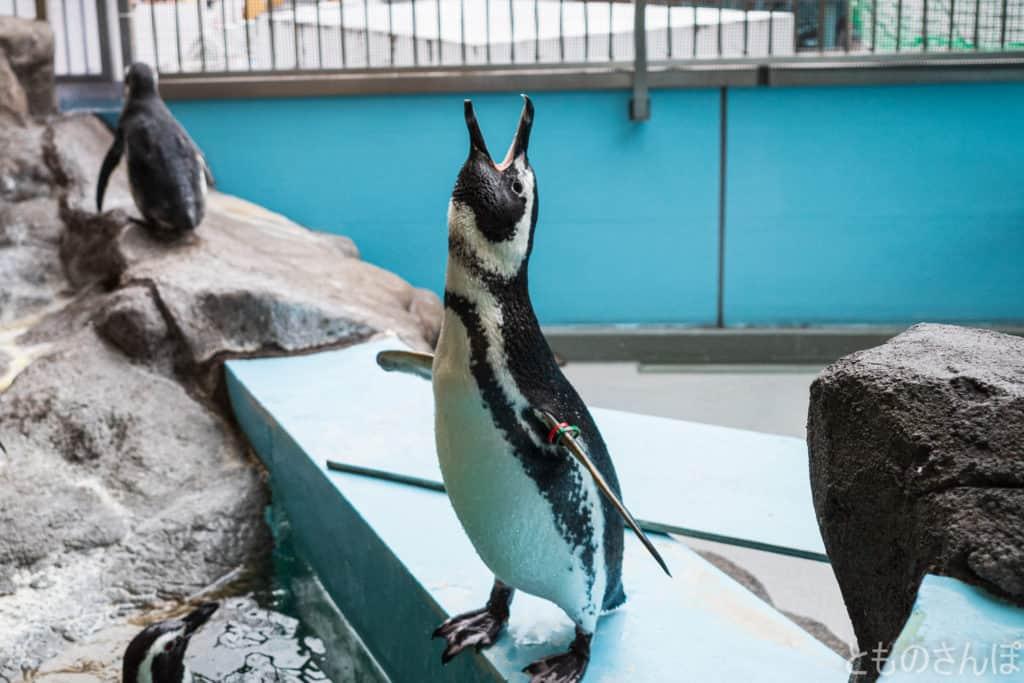 しながわ水族館のペンギン。