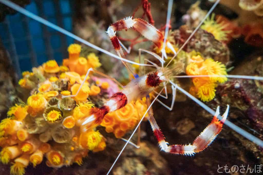 しながわ水族館、エビの一種。