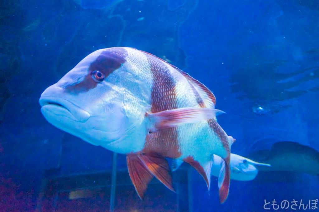 しながわ水族館、トンネル水槽の魚。