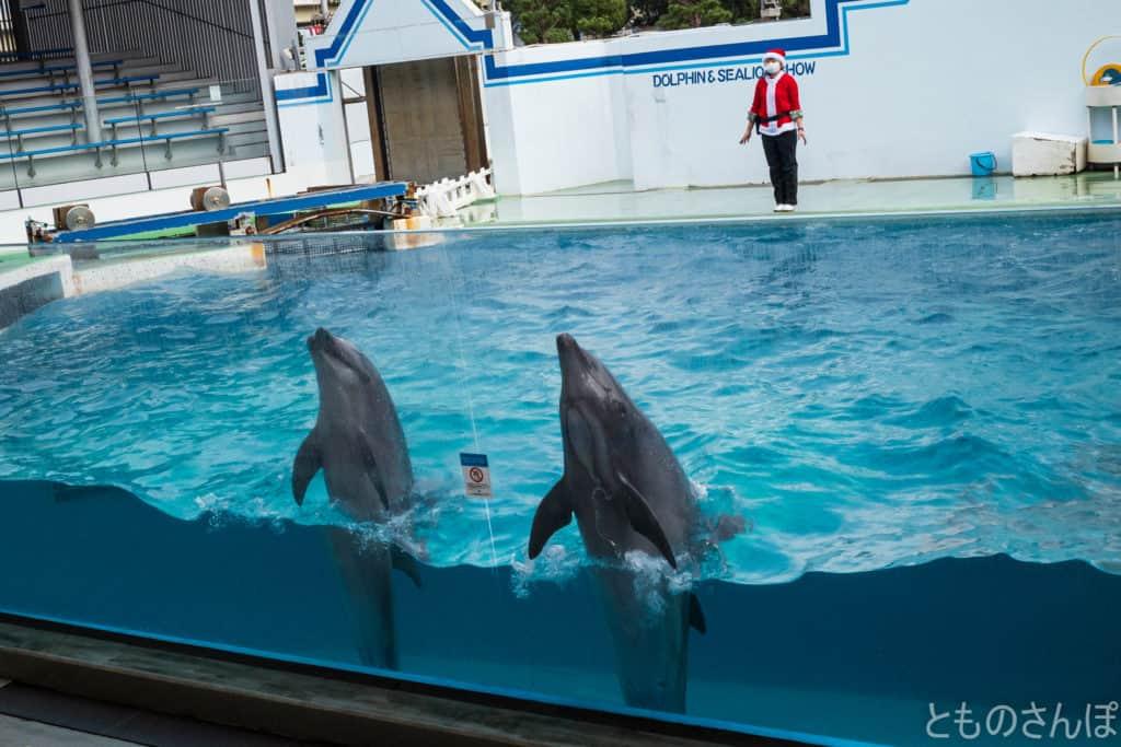 しながわ水族館のイルカショー。イルカの挨拶。