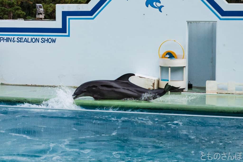 しながわ水族館のイルカショー。イルカのスライディング。
