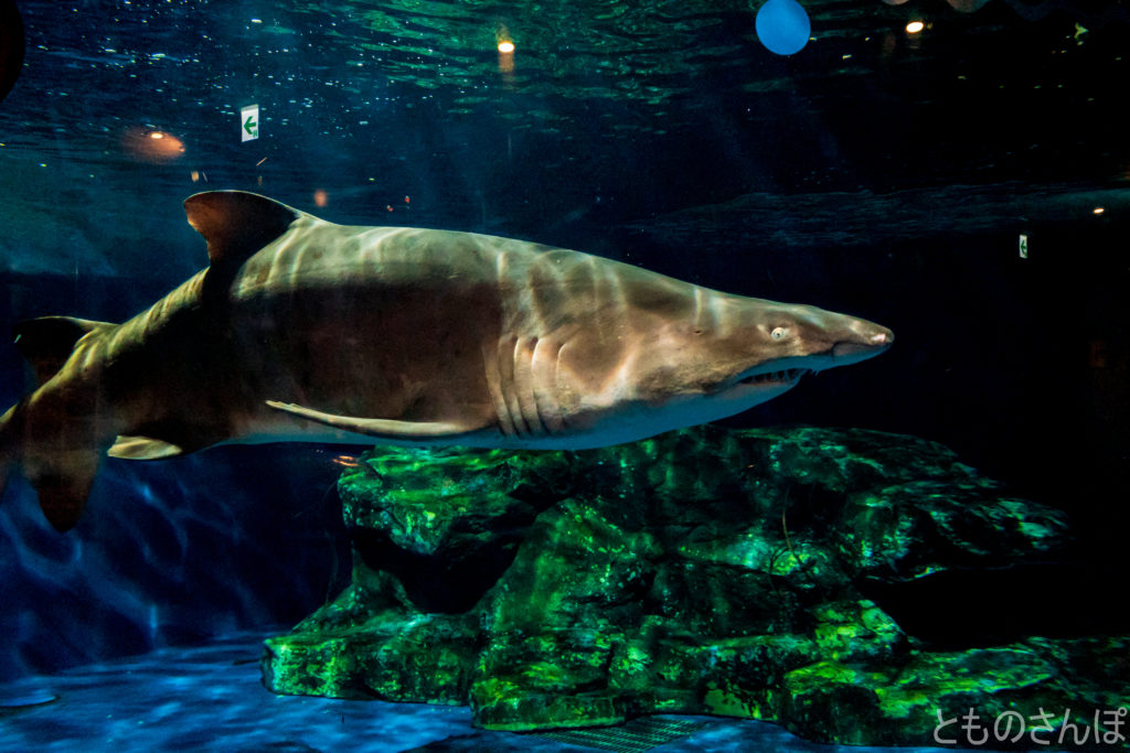しながわ水族館のサメ。