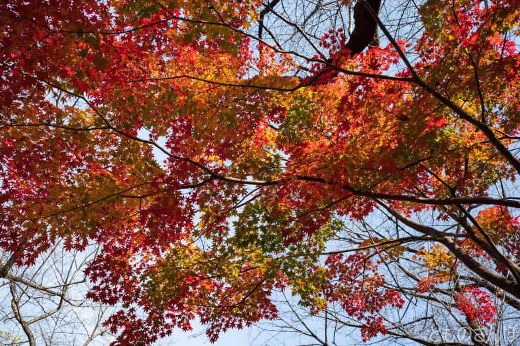 飛鳥山公園の紅葉したモミジ。
