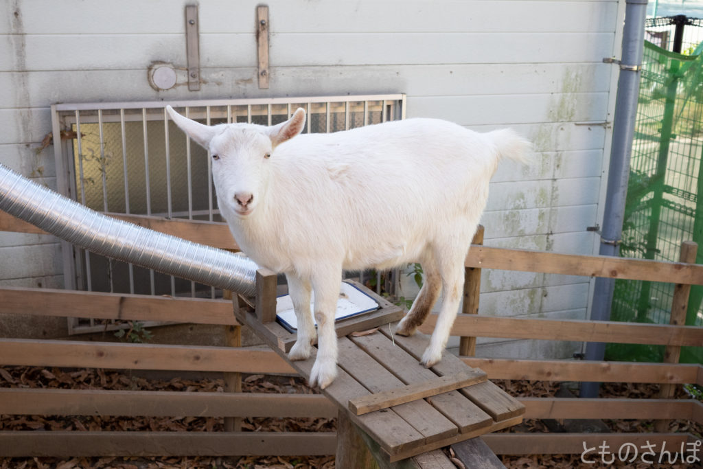 足立区生物園の山羊。