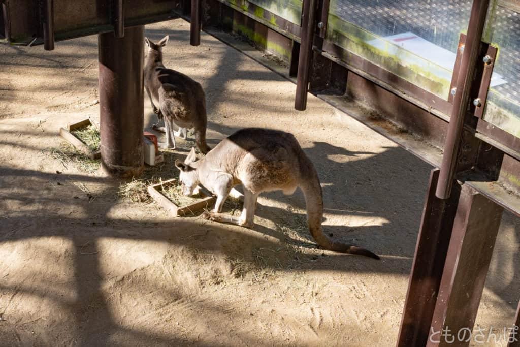足立区生物園のオオカンガルー。