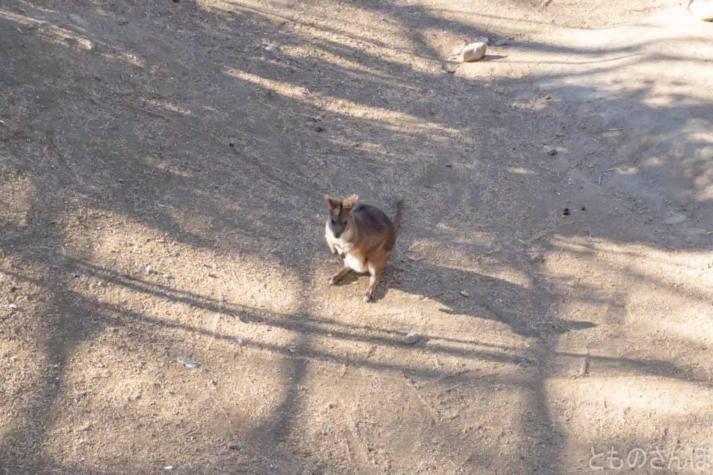 足立区生物園のパルマワラビー。