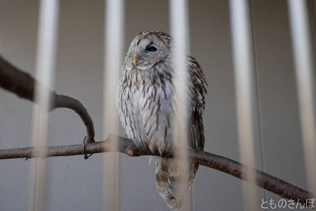 足立区生物園のフクロウ。
