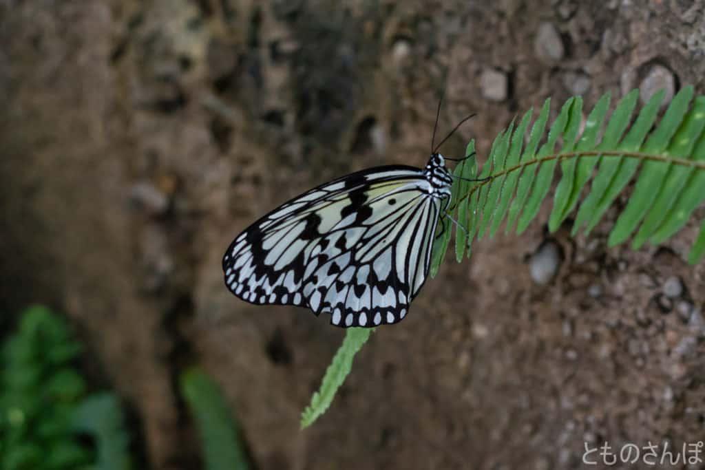 足立区生物園のオオゴマダラ。