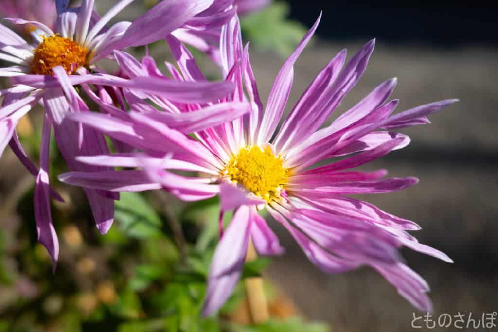 向島百花園、植木鉢の菊。