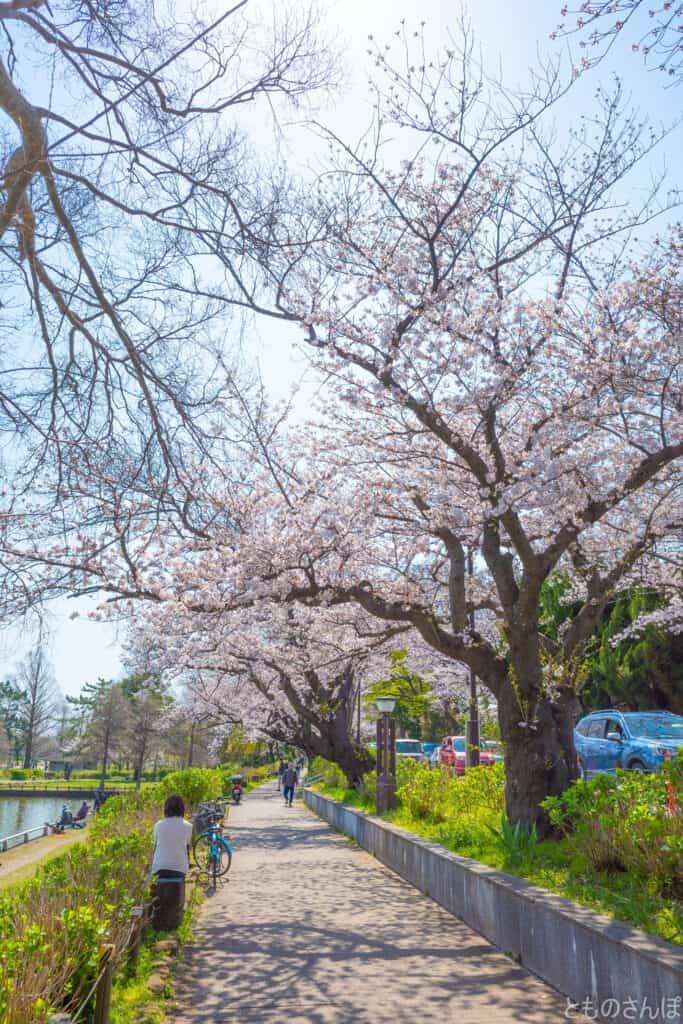 「水元さくら堤」の桜の様子。