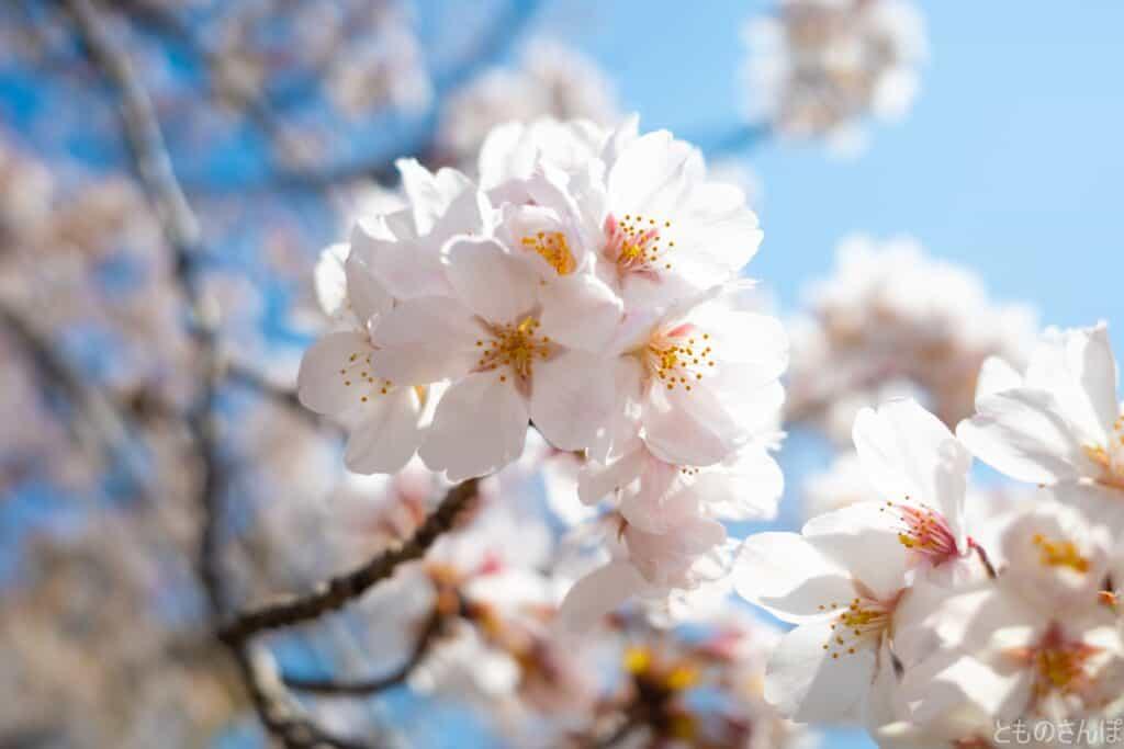 水元公園内の桜のアップ。