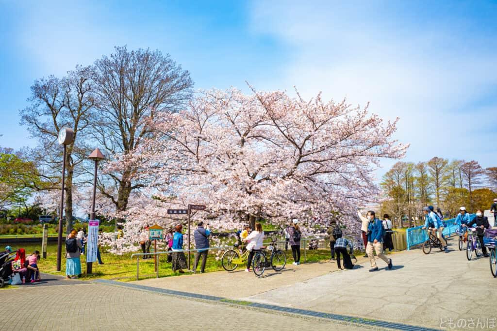 水元公園内の桜。