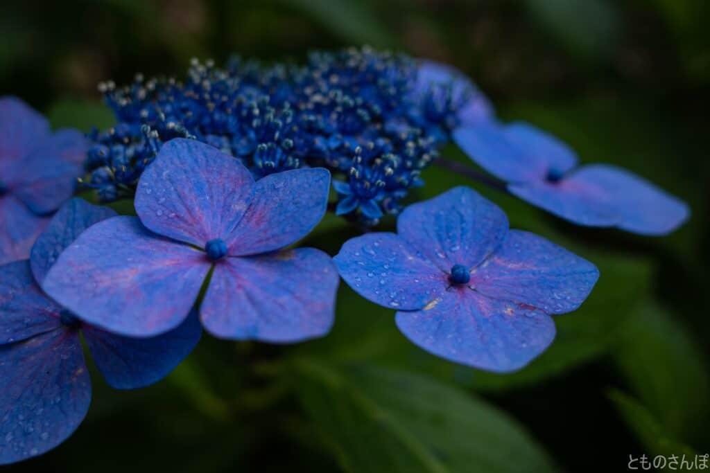 都立水元公園の紫陽花
